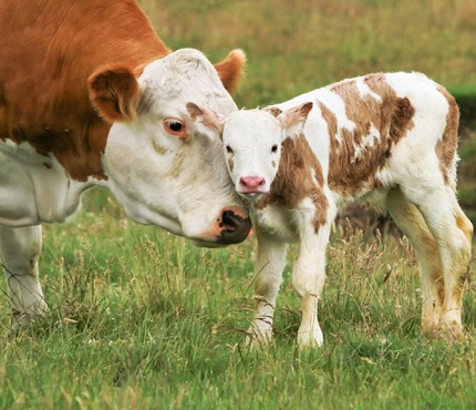 Farm-animal-reproduction