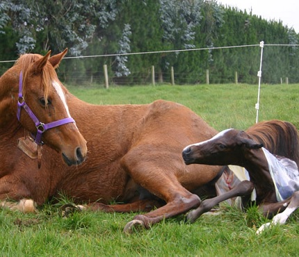 horse-reproduction
